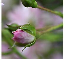 Simplistic Rosebud Photographic Print