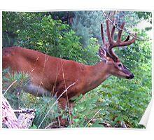 Deer at Cades Cove 003 Poster
