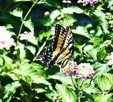 Tiger Swallowtail by ClintDMc