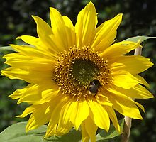 Cute Bumble Bee on a Sunflower by Jacqueline Turton
