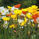 Field of Poppies by KirstyStewart