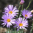Mountain Aster by Arla M. Ruggles