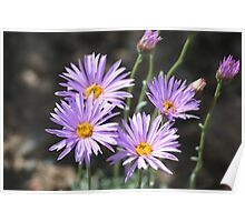 Mountain Aster Poster