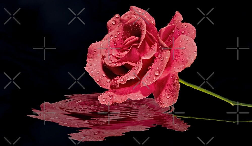 Pink Rose After a Rain with Its Reflection in Water by Buckwhite
