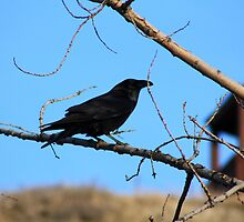 Raven in the Coulees by Alyce Taylor