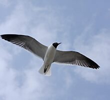 Seagull by Karl R. Martin