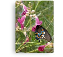 Butterfly ~ Pipevine Swallowtail Canvas Print
