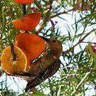 (BFF's) Gila Woodpecker ~ Male by Kimberly Chadwick