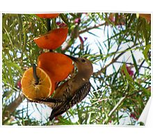(BFF's) Gila Woodpecker ~ Male Poster