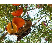 (BFF's) Gila Woodpecker ~ Male Photographic Print