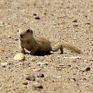 Round-tailed Ground Squirrel by Kimberly Chadwick