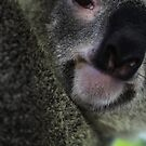 Koala - Australia Zoo by Rachael Lancaster