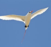 Red Tailed TropicBird by Gina Ruttle  (Whalegeek)
