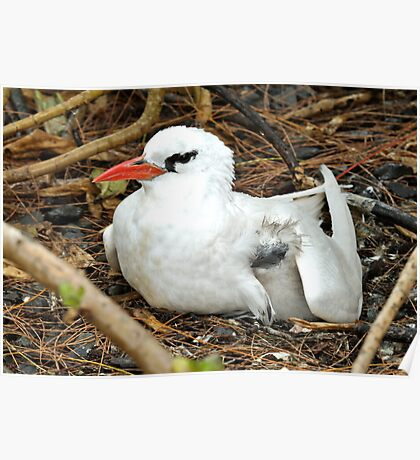 Red Tailed TropicBird & Its Chick Poster