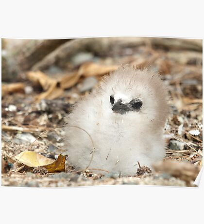 Red Tailed TropicBird Chick Poster