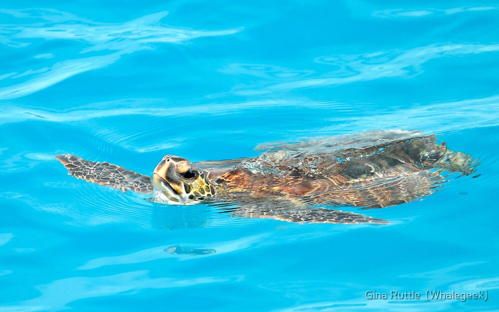 Green Sea Turtle In A World Of Blue by Gina Ruttle  (Whalegeek)