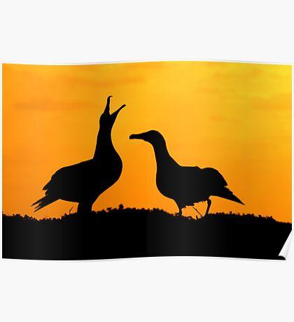 Dancing Black Footed Albatrosses  Poster