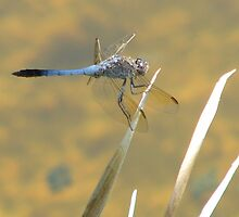 Blue Dragonfly on leaves by elsha