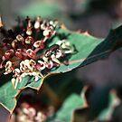 Close up hakea amplexicaulis Jarrah Wood 19820827 0023 by Fred Mitchell