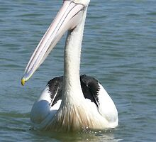Friendly Pelican by elsha