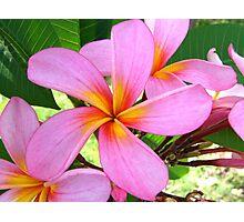 Pink Frangipani Photographic Print