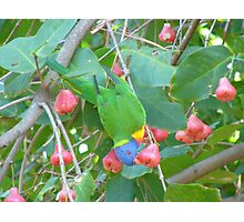 Rainbow Lorikeet eating Lilly Pilly Fruit Photographic Print
