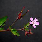 Herb Robert (Geranium robertianum) by Photography  by Mathilde