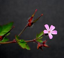 Herb Robert (Geranium robertianum) by Photography  by Mathilde