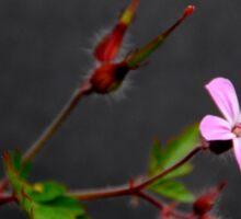 Herb Robert (Geranium robertianum) Sticker