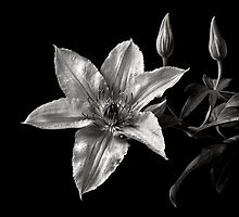 Clematis in Black and White by Endre