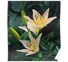 Double White Lilium Poster