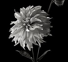 Dahlia With Bud in Black and White by Endre