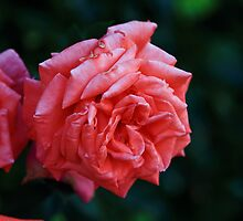 Could it be a faded Rose by pmarella