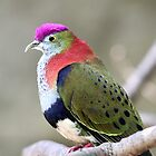 Superb Fruit-dove by EnviroKey