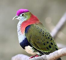 Superb Fruit-dove by EnviroKey