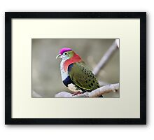 Superb Fruit-dove Framed Print