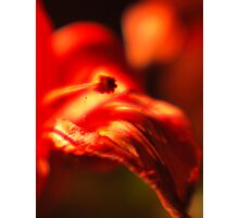 Red Lily III Photographic Print