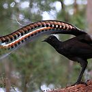 Superb lyrebird. by Donovan wilson