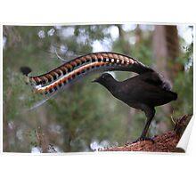 Superb lyrebird. Poster