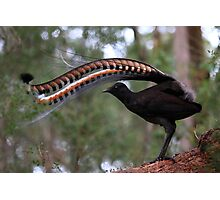 Superb lyrebird. Photographic Print