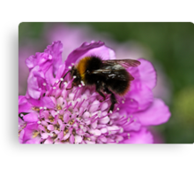Early bumble bee Canvas Print