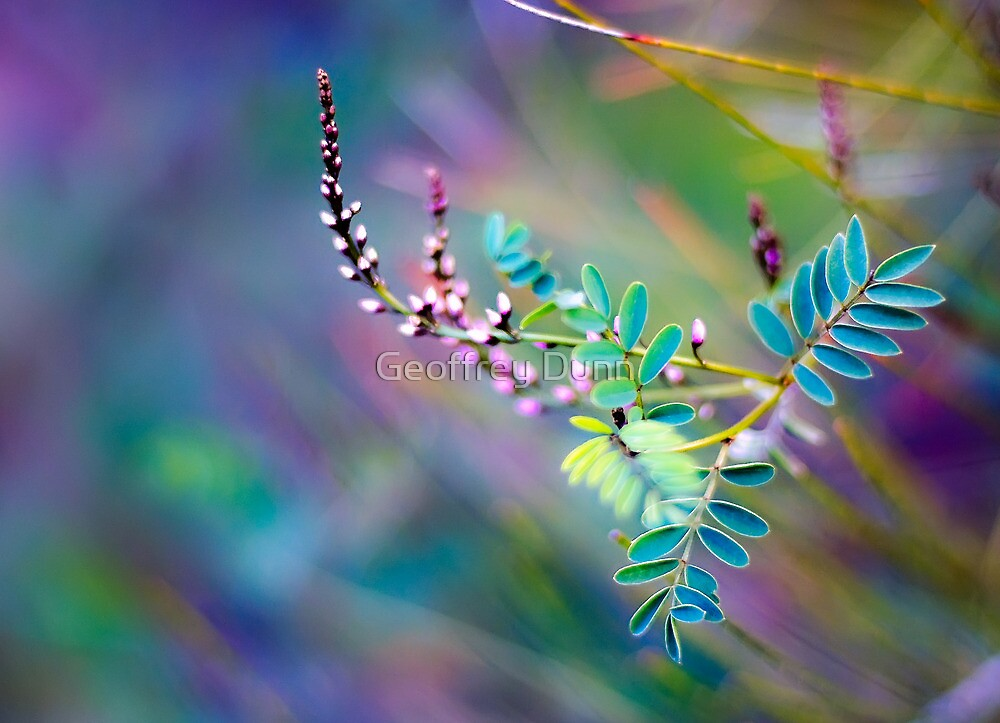 Angophora australis by Geoffrey Dunn