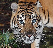 Tiger No1 by Joseph Darmenia