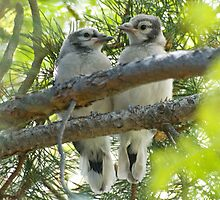 Baby Jays by Eivor Kuchta