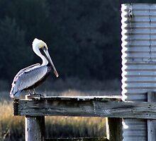 Pretty Pelican in Huntington Beach by Paulette1021