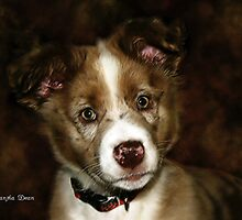 Australian Shepherd Pup by ibgraffix