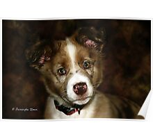 Australian Shepherd Pup Poster