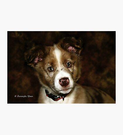 Australian Shepherd Pup Photographic Print