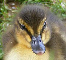 Mallard duckling - close up by monkeyferret