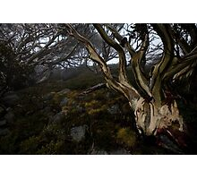 Charlotte Pass - Snow gums view 05 Photographic Print